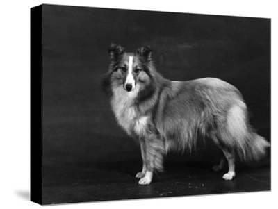 Hallinwood Golden Fetter, Shetland Sheepdog