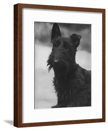 Head Study of an Unnamed Scottie with a Floppy Ear. Owner: Cross
