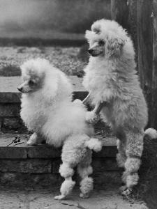 Pair of Miniature Poodles Owned by Thomas from the Fircot Kennel by Thomas Fall