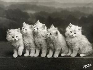 Row of Five Adorable White Fluffy Chinchilla Kittens by Thomas Fall