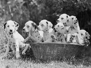 Six of the Puppies are Crowded in the Basket the Seventh is the Clever One as He Sits Outside It by Thomas Fall