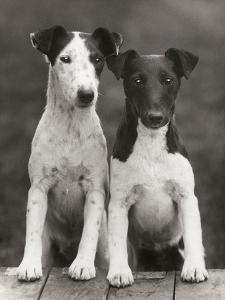 Smooth Fox Terriers by Thomas Fall