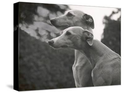 The Heads of Two Whippets Owned by Whitwell