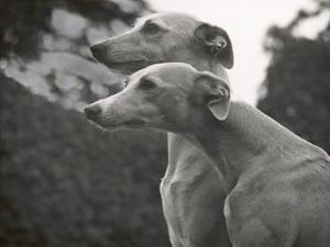 The Heads of Two Whippets Owned by Whitwell by Thomas Fall