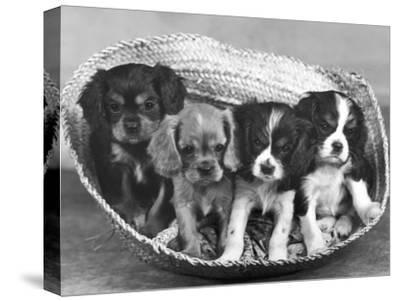 These Four Cavalier King Charles Spaniel Puppies Sit Quietly in the Basket