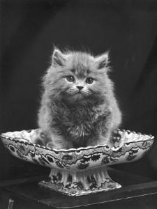 This Cute Little Blue Persian Kitten Sits Innocently in a Large China Dish by Thomas Fall