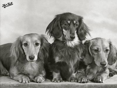 "Three Dachshunds Sitting Together from the ""Priorsgate"" Kennel Owned by Sherer by Thomas Fall"