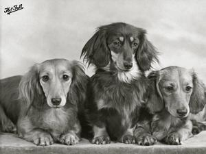 """Three Dachshunds Sitting Together from the """"Priorsgate"""" Kennel Owned by Sherer by Thomas Fall"""