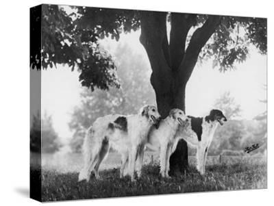 Three Mythe Borzois Belonging to Miss E.M. Robinson Standing Under a Tree
