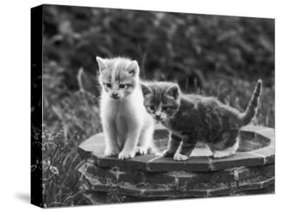 Two Kittens Stand in a Bird Bath Watching Something in the Grass