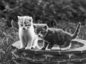Two Kittens Stand in a Bird Bath Watching Something in the Grass by Thomas Fall
