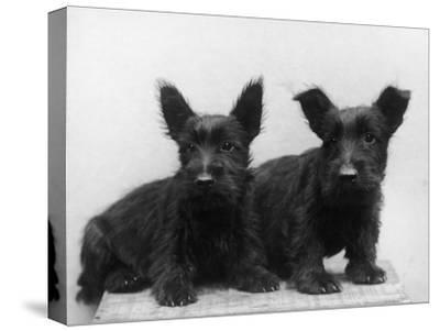 Two Timid Looking Black Scottie Puppies