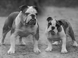 Two Unnamed Bulldogs Stand Together Owned by Green by Thomas Fall
