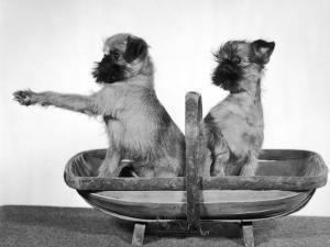 Two Unnamed Griffons Owned by Scholfield Sitting in a Trug by Thomas Fall