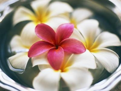 Frangipani Flowers in Bowl of Water