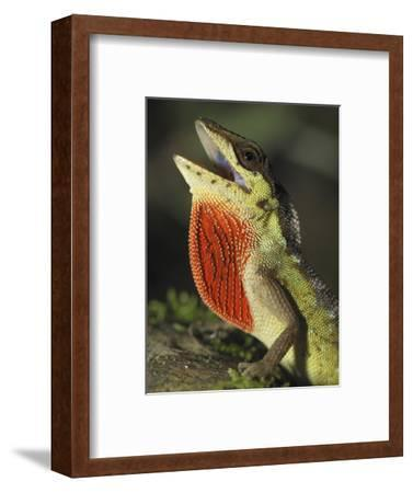 Anole Lizard Head with Open Mouth and Throat Pouch Extended (Anolis Notopholis)