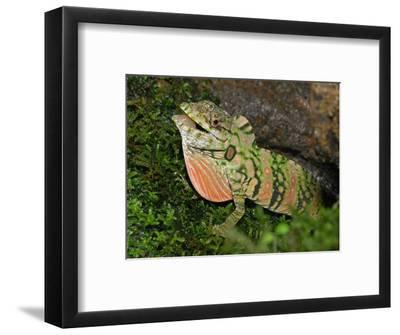 Anolis Lizard Display (Dactyloa Insignis), Cloud Forest, Costa Rica