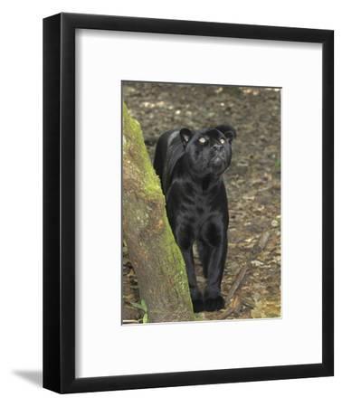 Black Jaguar or Panther (Panthera Onca), Belize