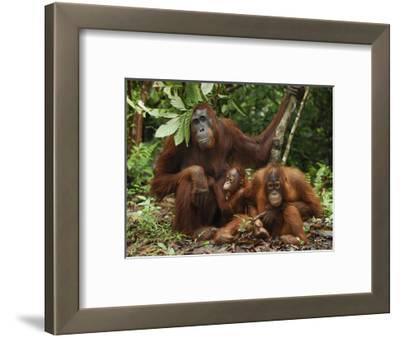 Borneo Orangutan Family with a Baby (Pongo Pygmaeus) Tanjung Puting National Park, Kalimantan