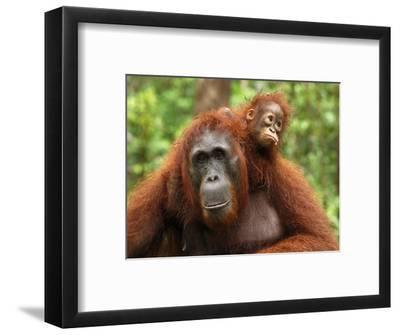 Borneo Orangutan Female with its Baby (Pongo Pygmaeus) Tanjung Puting National Park, Kalimantan