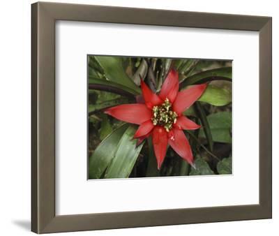 Bromeliad Flower, San Cipriano Reserve, Cauca, Colombia