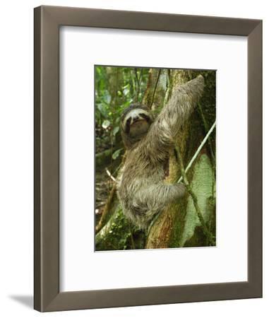 Brown-Throated Three-Toed Sloth (Bradypus Variegatus), Cahuita National Park, Costa Rica