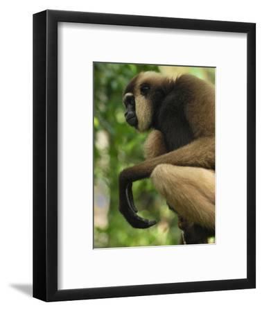 Dark-Handed or Agile Gibbon (Hylobates Agiles) Tanjung Puting National Park, Kalimantan