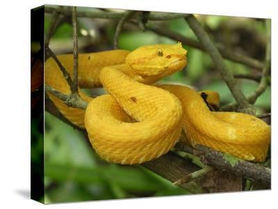 Eyelash Pit Viper with Yellow Coloration (Bothriechis Schlegelii), Cahuita National Park
