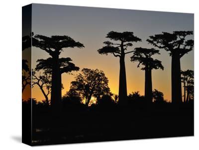 Grandidier´S Baobab (Adansonia Grandidieri), Near Morondava, Madagascar