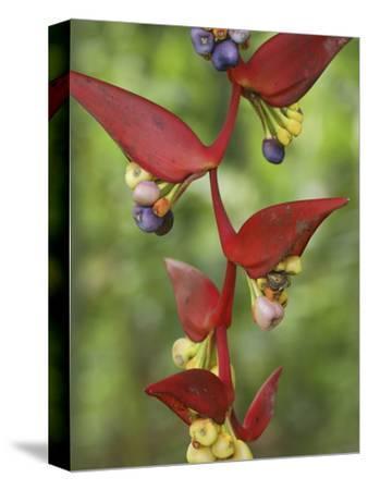 Heliconia Flowers (Heliconia Vaginalis), Belize