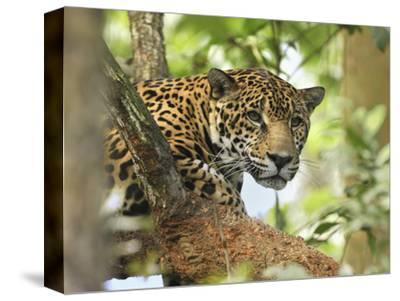 Jaguar Head (Panthera Onca), Belize