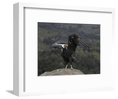 Male Andean Condor (Vultur Gryphus), Puracâ» Nationalpark, Department of Cauca, Colombia