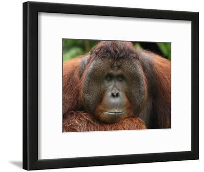 Male Borneo Orangutan (Pongo Pygmaeus), Camp Leaky, Tanjung Puting National Park, Kalimantan