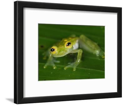 Male Fleischmann's Glass Frog (Hyalinobatrachium Fleischmanni), San Cipriano Reserve, Cauca