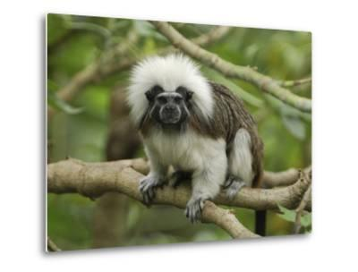 Cotton-Top Tamarin (Saguinus Oedipus) in Tree, Northern Colombia