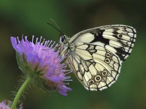 Marbled White (Melanargia Galathea) Butterfly on Flower, Switzerland by Thomas Marent/Minden Pictures