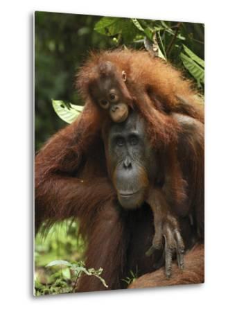 Orangutan (Pongo Pygmaeus) Female with Baby, Camp Leaky, Tanjung Puting Nat'l Park, Indonesia