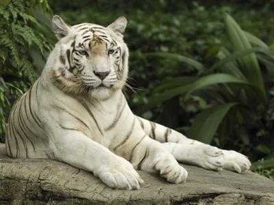 Tiger (Panthera Tigris), White Morph, Captive Animal, Singapore by Thomas Marent/Minden Pictures