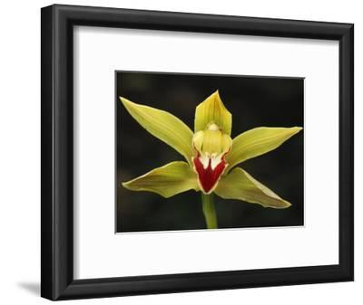 Orchid Flower (Cymbidium), Putumayo Department, Colombia