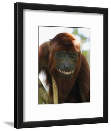 Red Howler Monkey Face (Alouatta Seniculus), Iquitos, Peru