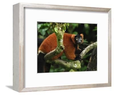Red Ruffed Lemur (Varecia Variegata Ruber), Masoala, Madagascar