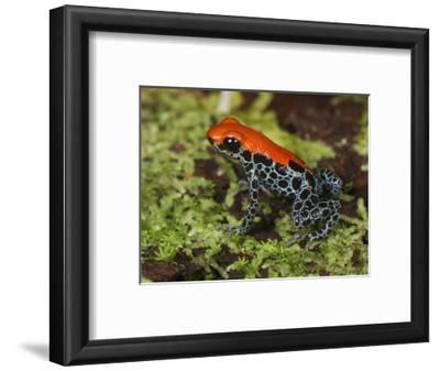 Reticulated Poison Dart Frog (Ranitomeya Reticulatus), Allpahuayo Mishana National Reserve, Iquitos