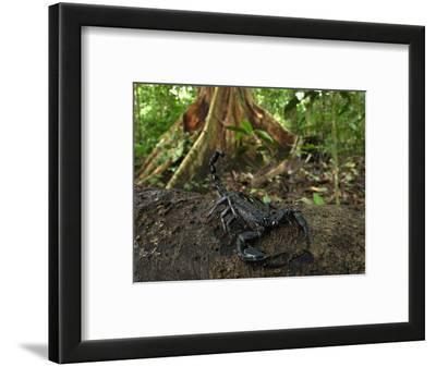 Scorpion on a Rainforest Log (Heterometrus Longimanus Borneensis)