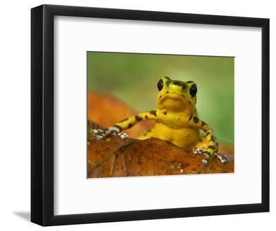 Strawberry Poison Dart Frog (Dendrobates Pumilio), Bastimentos National Park, Bocas Del Toro