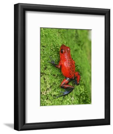 Strawberry Poison Frog (Dendrobates Pumilio), Cahuita National Park, Costa Rica