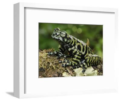 Tiger's Treefrog (Hyloscirtus Tigrinus), Pasto, Depart, Narino, Colombia