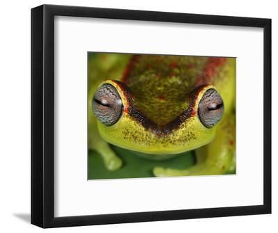 Treefrog Eyes (Hyla Rubracyla), San Cipriano Reserve, Cauca, Colombia
