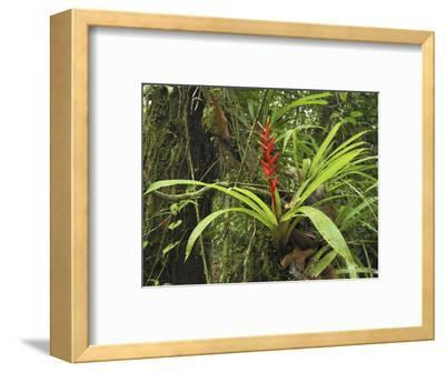 Tropical Rainforest with a Flowering Bromeliad, San Cipriano Reserve, Cauca, Colombia