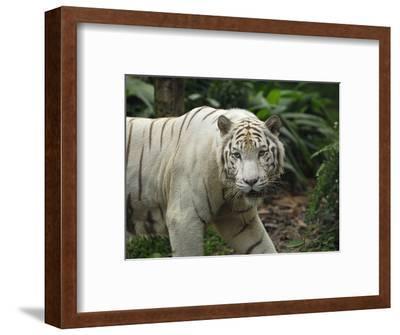 White Tiger (Panthera Tigris), Singapore