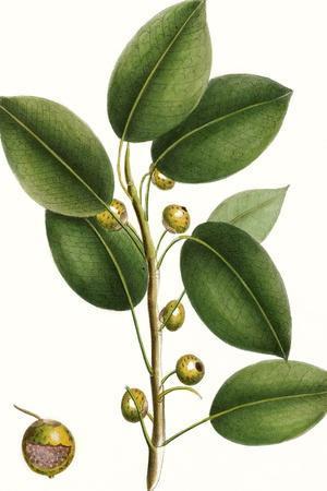 Cherry Fig Tree